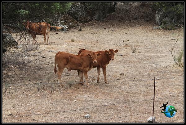 Vacas a nuestro paso por Colmenar del Arroyo.