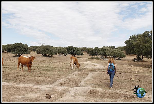 Paseando entre vacas en Colmenar del Arroyo.