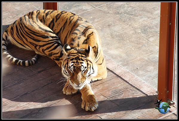 Tigre de Bengala en Cabárceno.
