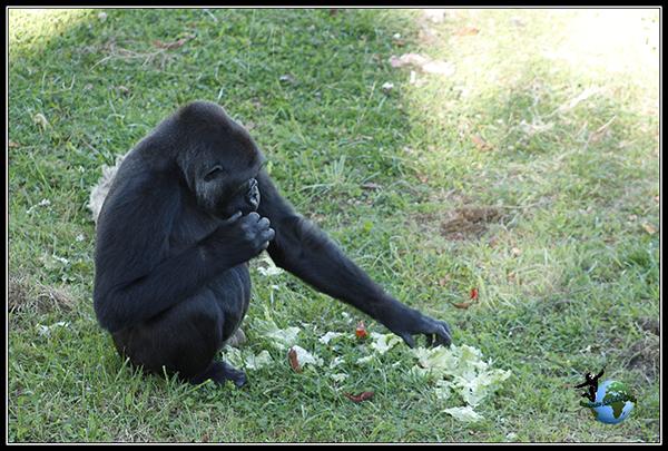 Gorila en Cabárceno.