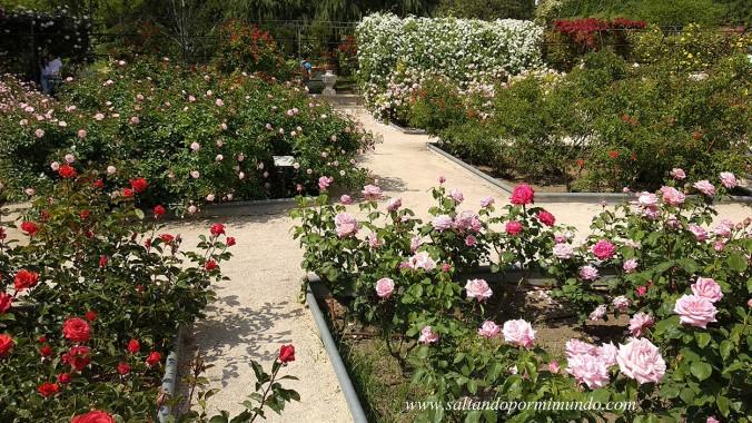 Rosas en la Rosaleda del Parque del Oeste