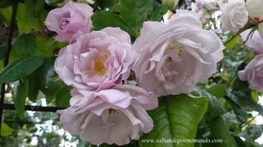 Más de 500 variedades de rosas en el Parque del Oeste