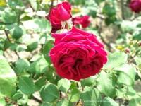 Variedad de rosas en el parque del Oeste, Madrid
