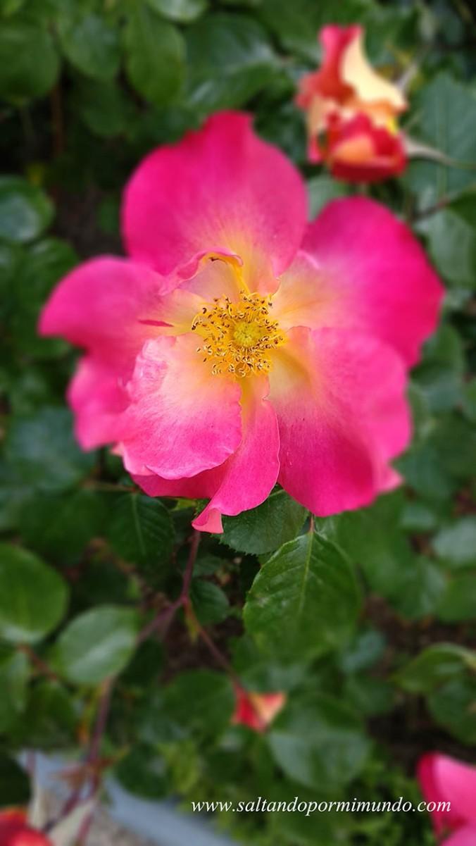 Rosas en la Rosaleda del Parque del Oeste, Madrid
