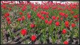 Tulipanes en el Kremlin